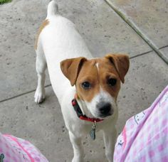 Maximus the Jack Russell Terrier