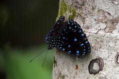 Starry Night Cracker (Hamadryas laodamia) by Scott Olmsted, Rio Silanche, Pichincha Ecuador. #Butterfly #Starry_Night_Cracker #Scott_Olmsted