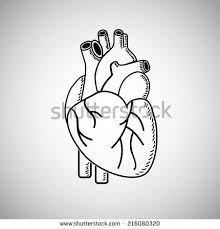 Afbeeldingsresultaat voor draw anatomical heart how to