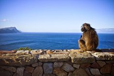 At Cape Point, many Baboons live free-roaming in the area. Managing to take pictures of them is always a feat. With the Ocean at the background, it is all the more impressive! Boulder Beach, Baboon, Live Free, Atlantic Ocean, Bouldering, Cape, Scenery, Tours, Island