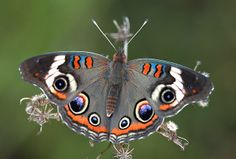 Common Buckeye by DrPhotoMoto, via Flickr