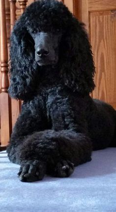 Poodle The Adorable Dog - The Pooch Online Pet Dogs, Dog Cat, Weiner Dogs, Doggies, Poodle Grooming, Dog Grooming, Black Lab Puppies, Corgi Puppies, Black Standard Poodle