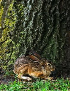 "funkysafari: "" Jack Rabbit Coyote Hills Regional Park, Fremont California by Jerry Ting """