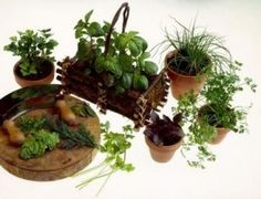 Growing herbs from seeds give you numerous plants for little investment. Most herb seeds germinate easily in less than three weeks. Common cooking herbs, such as basil, thyme, oregano and parsley, . Growing Herbs Indoors, Growing Plants, Growing Vegetables, Indoor Vegetable Gardening, Container Gardening, Organic Gardening, Small Herb Gardens, Outdoor Gardens, Fairy Gardens