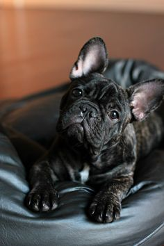 Teo ! French bulldog puppy