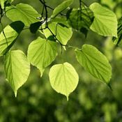 as light as leaf of linden-tree