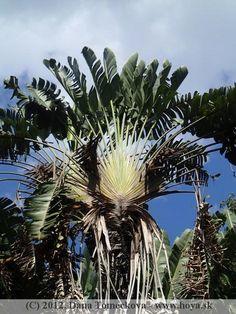 Strelitzia nicolai Botanical Gardens, Sri Lanka, Plants, Plant, Planets