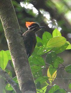 Olive-backed Woodpecker. Photo: János Oláh