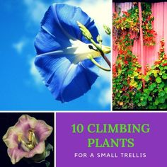 Here is a list of the top 10 climbing plants perfectly suited for a small garden trellis. Bringing color, scent and interest into your yard, climbers also create a decorative screen or an ornamental feature that will bring months of pleasure. Clematis Plants, Clematis Vine, Flowers Perennials, Garden Plants, Planting Flowers, Garden Totems, Flower Gardening, Fruit Garden, Glass Garden