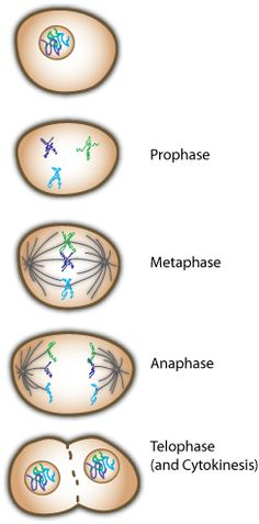 math worksheet : 1000 ideas about mitosis on pinterest  photosynthesis ap  : Cell Division And Mitosis Worksheet