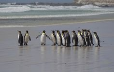 King Penguins on the beach. by Richard McManus on 500px