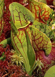 Sarracenia purpurea var. purpurea from McLean Bog, Malloryville, NY