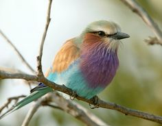 LILAC BREASTED ROLLER (Coracias caudata) The species ranges more or less continuously throughout eastern and southern Africa from the Red Sea coasts of Ethiopia and northwest Somalia to the Angola coast and northern South Africa. Pretty Birds, Love Birds, Beautiful Birds, Animals Beautiful, Cute Animals, Exotic Birds, Colorful Birds, Lilac Breasted Roller, All Gods Creatures