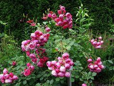 'Pomponella ' Rose by HelpMeFind.com user Mandragora