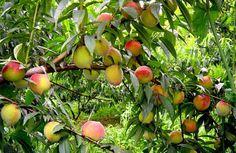 Plantação de pêssegos.
