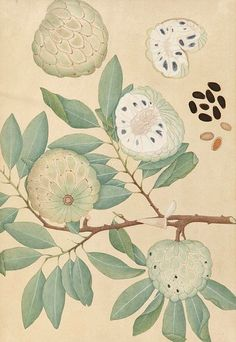 Unknown (Indian) Botanical Study, 19th century