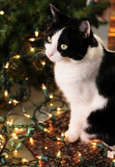 As any cat owner will know, a Christmas tree is a magnet for kitties of all ages. Keep your feline and your holiday decorations safe with these tips.