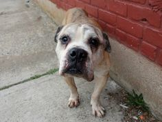 TO BE DESTROYED - FRIDAY - 4/11/14, SUPER URGENT 4/2/14 Brooklyn Center   TIGER - A0995414   MALE, TAN, PIT BULL MIX, 9 yrs STRAY - EVALUATE, HOLD FOR ID Reason STRAY Intake condition NONE Intake Date 04/01/2014, From NY 11233, DueOut Date 04/04/2014, I came in with Group/Litter #K14-172458.   Medical Behavior Evaluation No Initial Behavior Medical Summary No Initial Exam  https://www.facebook.com/photo.php?fbid=781119898567558&set=a.617942388218644.1073741870.152876678058553&type=3&theater