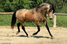 FOOL'S GOLDEN DREAMER {ANDALUSION STALLION}