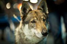 Czechoslovakian Wolfdog:   Czechoslovakian Vlcak