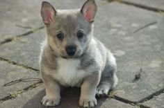 Corgi X wolf = Swedish Vallhund  My husband is obsessed with these.