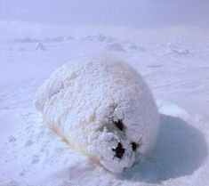 Fat baby seal coated in snow. Looks like a seal made of snow, like a snowman. Adorable Cute Animals, Cute Baby Animals, Animals Beautiful, Animals And Pets, Funny Animals, Cutest Animals, Cute Seals, Harp Seal, Seal Pup