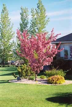 Find Thunderchild Flowering Crab (Malus 'Thunderchild') in Winnipeg Manitoba MB at Ron Paul Garden Centre (Roseybloom, Crabapple) Deciduous Trees, Flowering Trees, Acreage Landscaping, Landscaping Ideas, Full Size Photo, Pink Trees, Small Trees, Apple Tree, Lawn And Garden