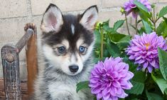 A Promeranian Husky – Pomsky is the most adorable mixed breed of a Siberian husky and a Pomeranian. Most often called a Pomsky, the exceedingly cute, ...