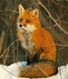fox sitting - Google Search