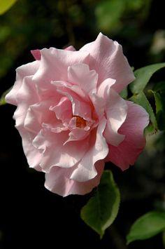 Rose Albertine.