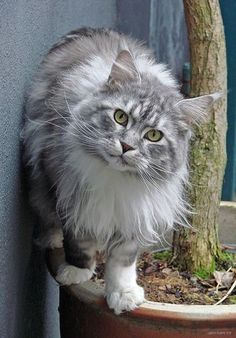 Not exactly wildlife, but cool cats. The Maine Coon is one of the oldest natural cat breeds in North America and is the official State Cat of Maine! Pretty Cats, Beautiful Cats, Animals Beautiful, Cute Animals, Pretty Kitty, Animal Gato, Mundo Animal, Cute Kittens, Cats And Kittens