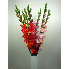 H-10 116CM gladiolus