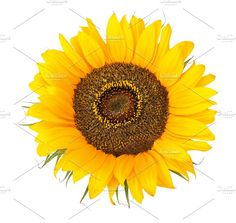 sunflower isolated Photos sunflower isolated by Liliia Rudchenko Simbolos Tattoo, Sunflower Photography, Make Me Smile, Sun Flowers, Watercolor, Stock Photos, Buckets, Fruit, Drawings