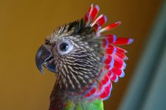 Red-fan Parrot, Deroptyus accipitrinus, Hawk-head Parrot