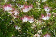 Las plantas autóctonas más lindas - Blogs lanacion.com Media Sombra, Flora And Fauna, Herbs, Flowers, Plants, Mimosas, Gardening, Ideas, Gardens