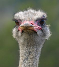 Ostrich. Photo by maureen_g