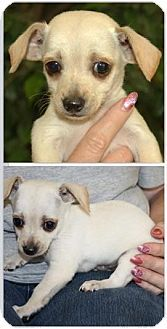 Ringoes, NJ - Chihuahua. Meet Koda, a puppy for adoption. http://www.adoptapet.com/pet/13297262-ringoes-new-jersey-chihuahua