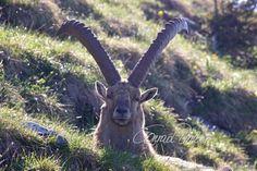 Motive finden - Conrad Amber Kangaroo, Goats, Animals, Inspiration, Old Trees, Wild Animals, Woodland Forest, Nature, Baby Bjorn