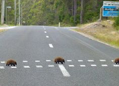 """Only in Australia! An Echidna (Spiny Anteater) crossing. LOL Did some research, and I think that sign is for the """"Silver Ridge Retreat"""" near Mt Roland, Sheffield, Tasmania. The area is known for Echidna's. Funny Animal Photos, Funny Animals, Cute Animals, Wild Animals, Funny Pics, Melbourne, Dump A Day, Echidna, Australian Animals"""