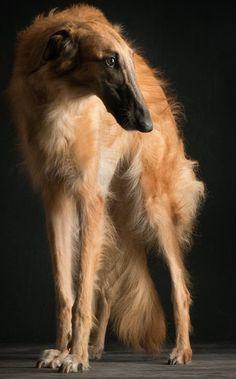 Gorgeous Borzoi (Russian Hound) Photographer: Paul Croes