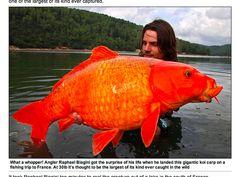 tiny man? Massive goldfish!