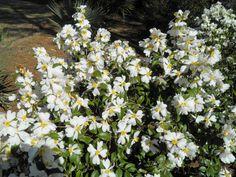Camellia yuhsienensis/camellia grijsii