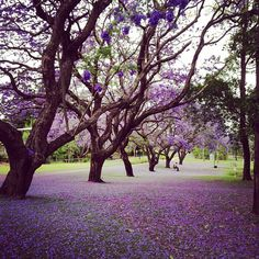 Jacarandas in Australia (photo by my brother who is there for grad school)