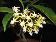 Hoya multiflora, Shooting Stars