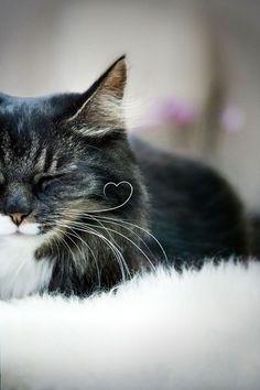 Moustache en coeur pour chat amoureux