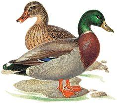 Duck - illustration