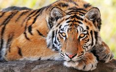 Beautiful Tiger Wallpapers Pictures Photos Images