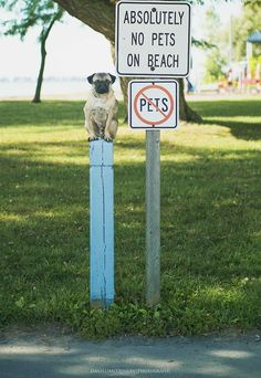 Pug Lil' Ray Charles don't play by nobody's rules