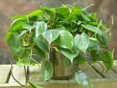 Philodendron cordatum 12 houseplants that can survive even the darkest corner Easy Plants To Grow, Growing Plants Indoors, Cool Plants, Plantas Indoor, Decoration Plante, Low Light Plants, Inside Plants, Plant Aesthetic, Best Indoor Plants