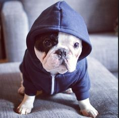 'I didn't choose the 'Hoody' Life'...actually my Dads did. French Bulldog.